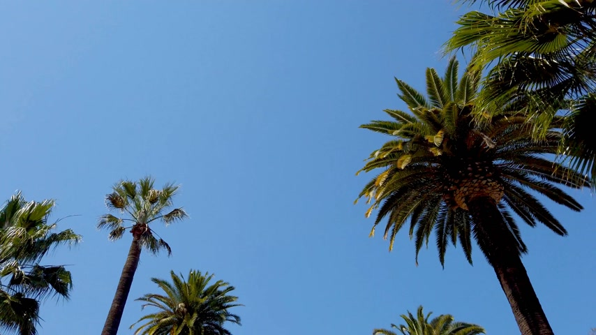 vaqueiro : The Palm trees of Beverly Hills - travel photography