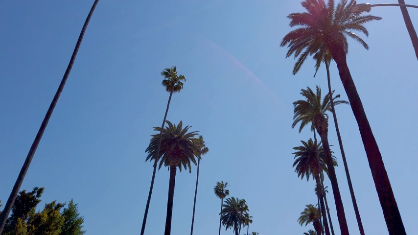 бульвар : The Palm trees of Beverly Hills - travel photography