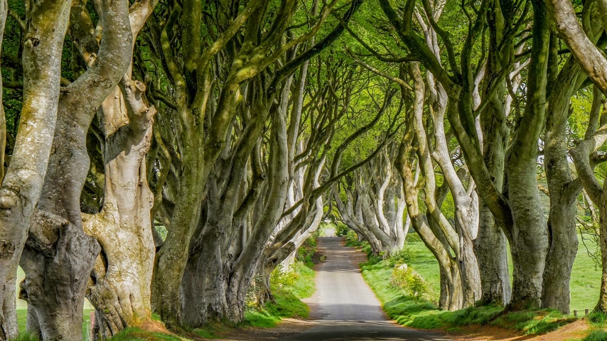 vanish : The Dark Hedges of Stranocum in Northern Ireland