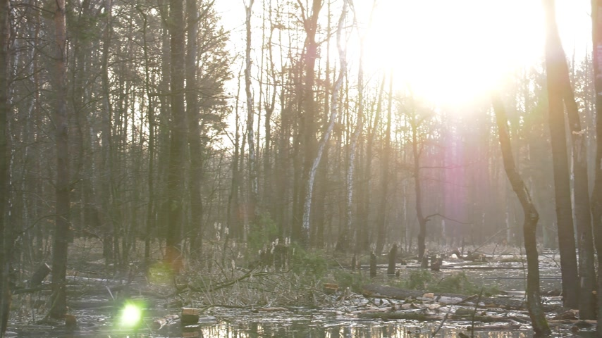 yansıma : 4K,The most popular forest in Polnad at Jura.     Flooded trees are standing under water. The boughs stick out of the water. The suns rays bounce off the water. Panning the camera. Stok Video