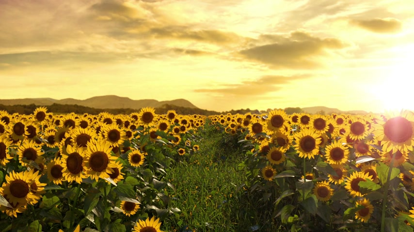 abundância : Walking Thru a Sunflower Field. Seamless Loop Stock Footage