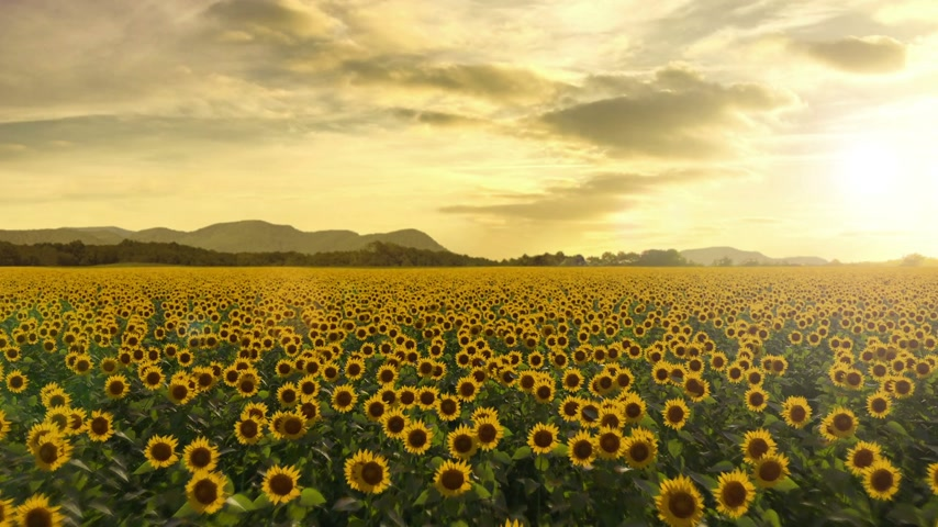 girasoles : El volar sobre un campo del girasol, Seamless Loop Archivo de Video