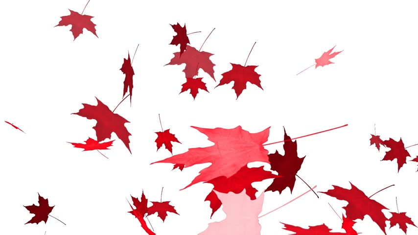 red maple : HD Loopable Falling Maple Animation