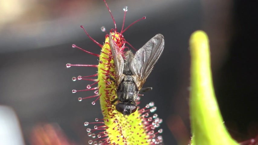 pantanal : Fly caught in sticky Sundew plant Stock Footage