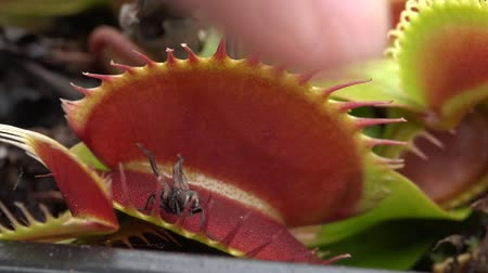 Венера : Carnivorous plant catching a fly