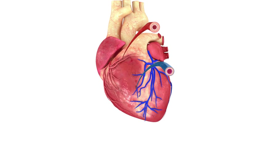 bicep : Blood vessels