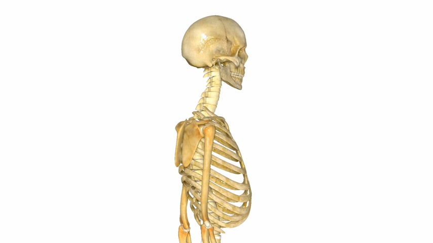 dişli : Skeleton with elbow joints