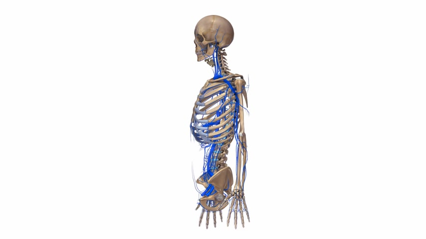 dorsal : Skeleton upper body with veins Stock Footage