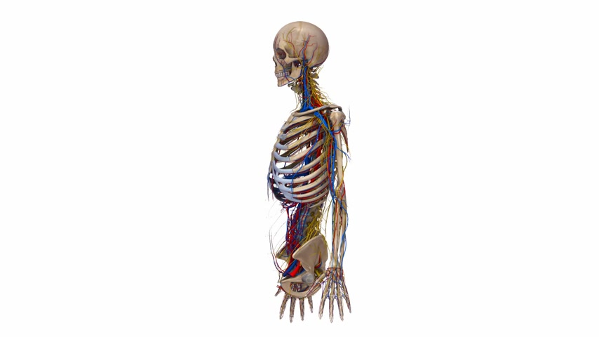 dorsal : Skeleton upper body with blood vessels and nerves