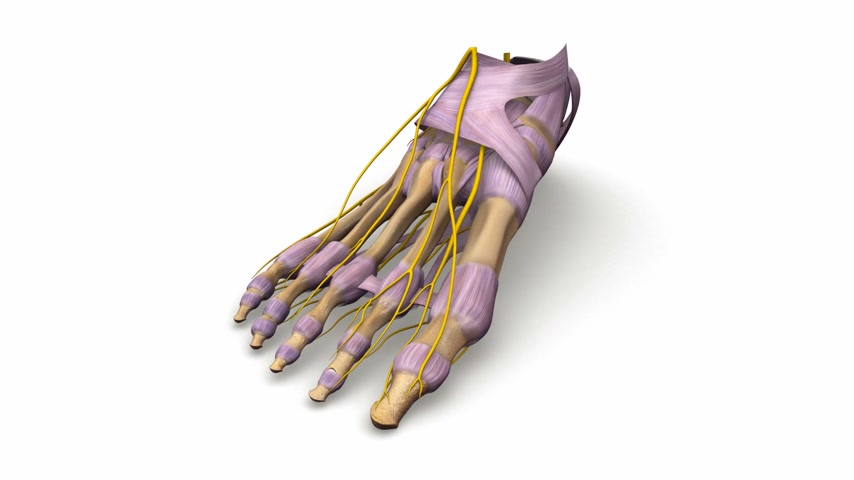 buty sportowe : Foot bones with ligaments and nerves