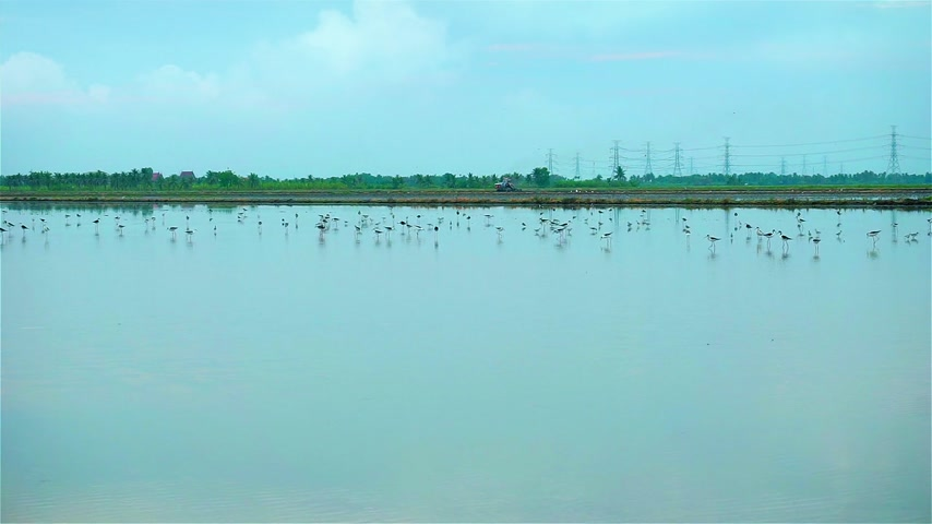 Birds in rice fields on morning