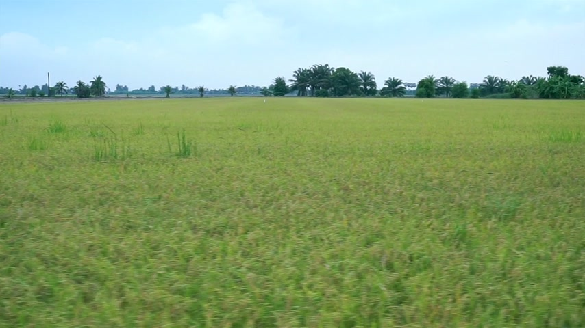 Rice field landscape in Thailand (Panning shot)