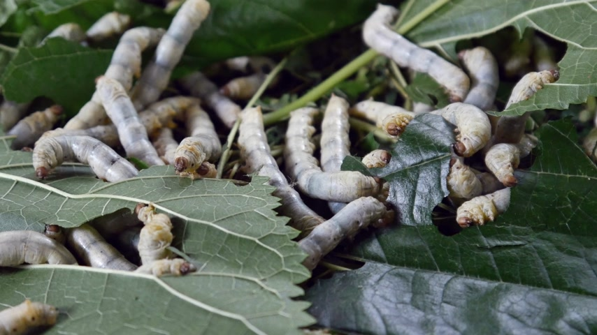 silkworm : silk worm farm, breeding center for silk textile production Stock Footage