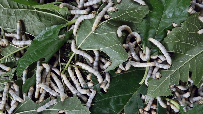 chrysalis : silk worm farm, breeding center for silk textile production Stock Footage