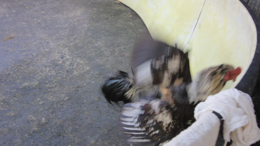 cockfighting : Roosters circling and attacking each other at cockfight in Thailand.