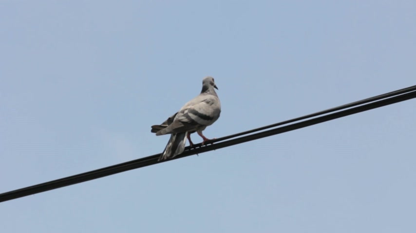 dove of peace : Pigeon on electric wire