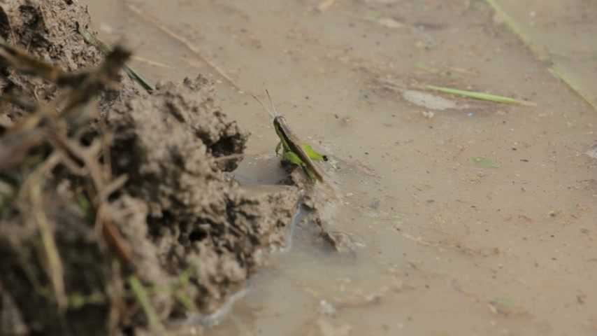 kriket : grasshopper jumping near river