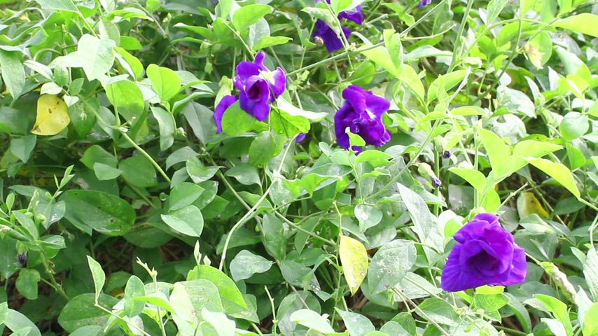 ervilhas : Butterfly pea flower Clitoria ternatea L. Stock Footage