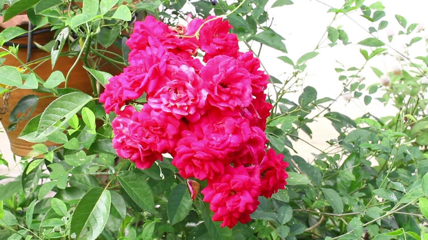 rosebush : Red shrub roses in the garden, copyspace on the right Stock Footage