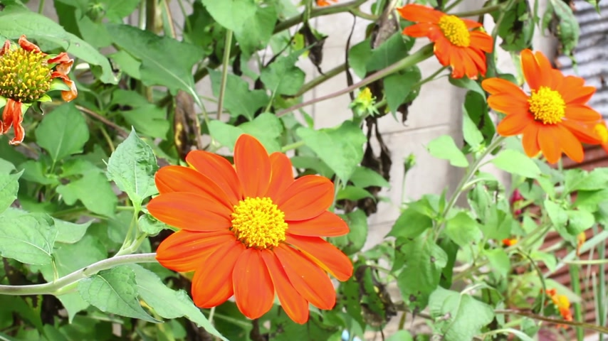 violacea : orange Mexican sunflower Tithonia rotundifolia in front house wall.