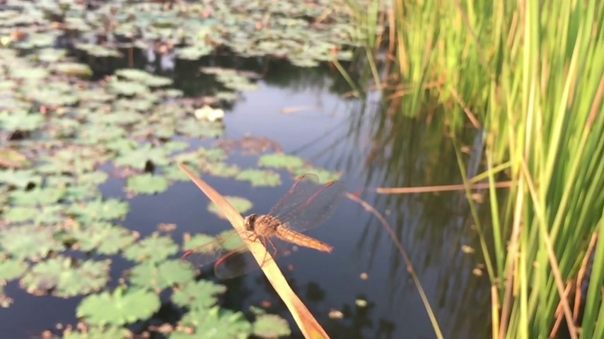 coleopteres : slow motion dragonfly standing on the leaf near a peaceful pond Stock Footage