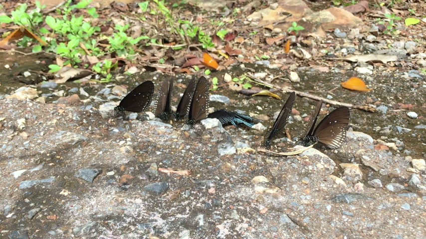 pratensis : beautiful butterflies on the ground in Pang Sida National park, Sa Kaeo, Thailand Stock Footage