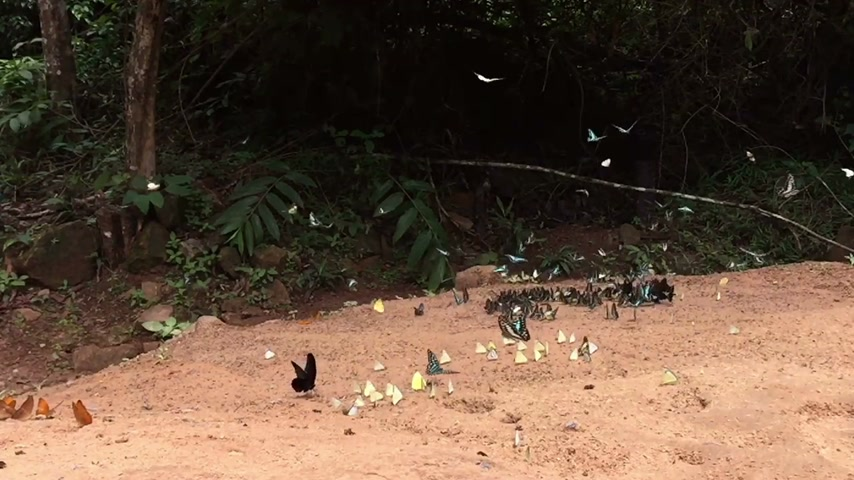 pratensis : slow motion beautiful butterflies on the ground in Pang Sida National park, Sa Kaeo, Thailand
