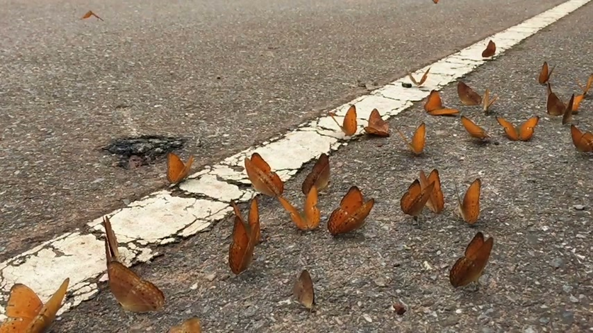 pratensis : slow motion beautiful butterflies on the street in Pang Sida National park, Sa Kaeo, Thailand