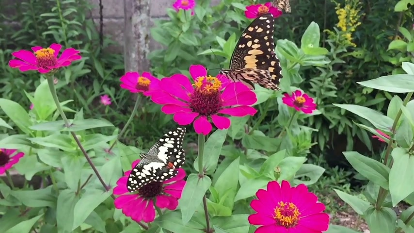 pratensis : slow motion beautiful butterflies on the pink flower garden Stock Footage