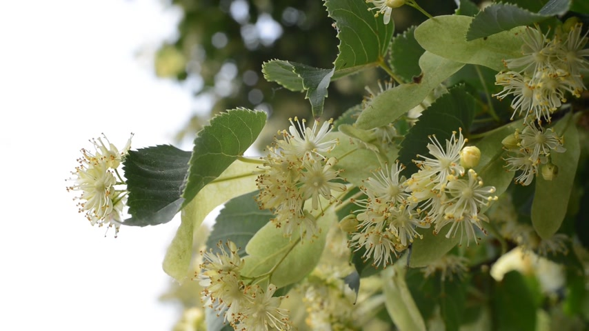 repousante : Detail Of Linden Blossoms  Stock Footage