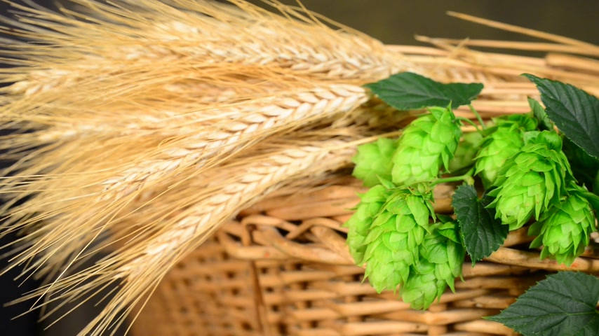 hops : hops and barley malt in the basket,panning
