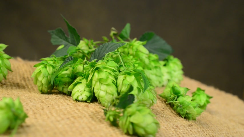hops : detail of hop cones in the studio,real time,rotation Stock Footage