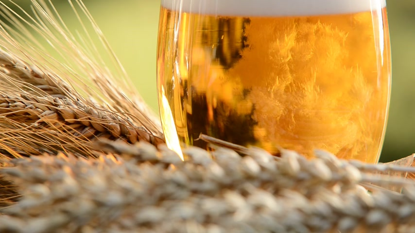beer tap : pouring beer into the glass, detail of beer glass with wheat and barley