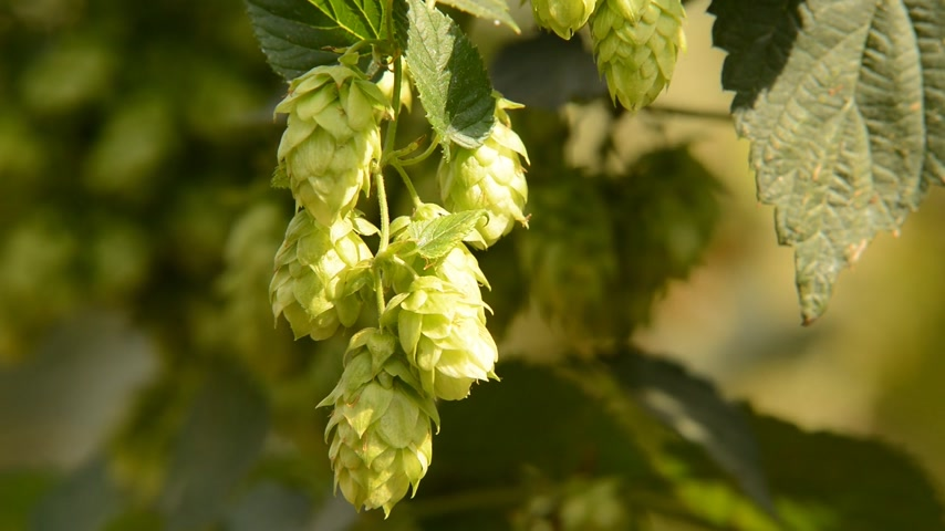 cervejaria : detail of hops field in the breeze, zoom out, real time