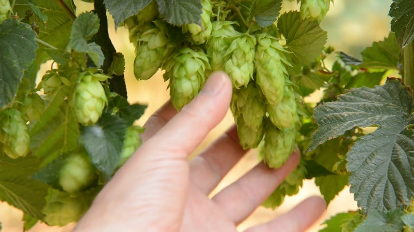 bira fabrikası : hops farmer field inspect, real time