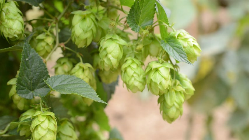 hops : detail of hops field in the breeze, real time, without motion Stock Footage