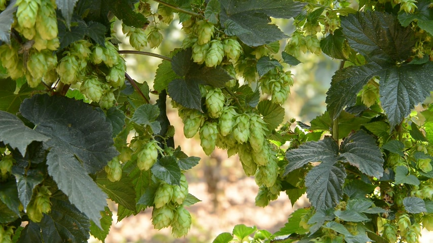 hops : hop cones in the hop garden, zoom in, Czech Republic