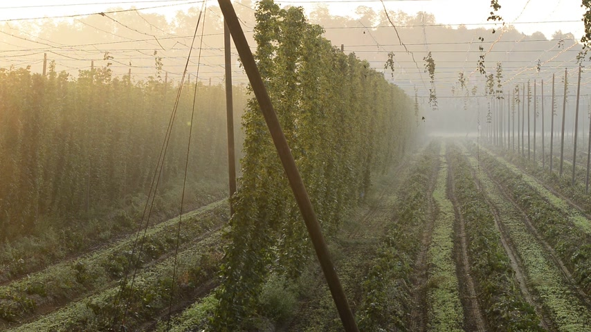 bira fabrikası : Detail of hop field, zoom in Stok Video