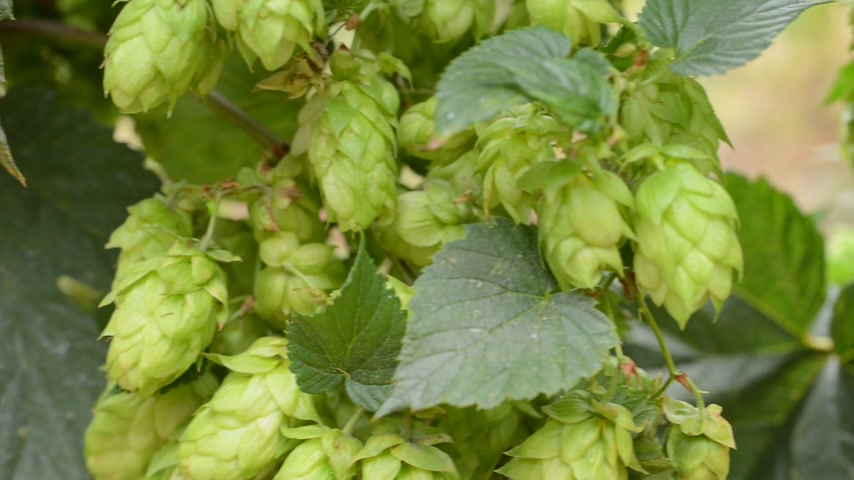 hops : detail of hops field in the breeze, shoot with slider