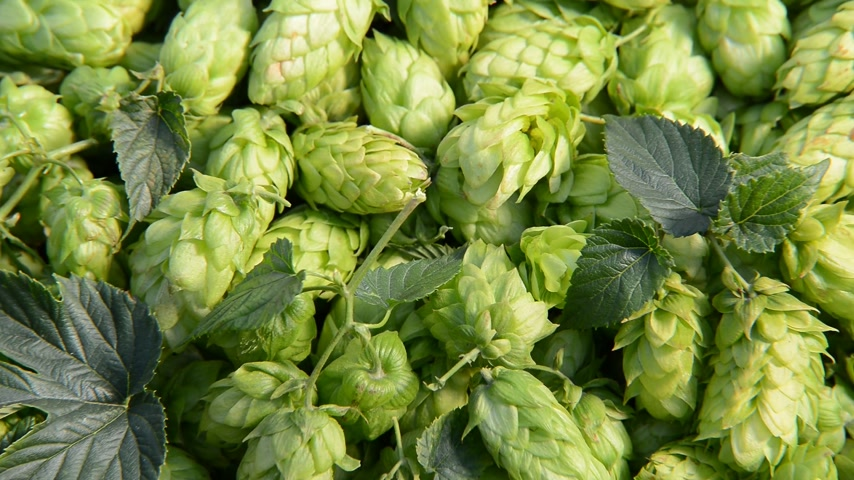 hops : Detail of hop cones, zoom out