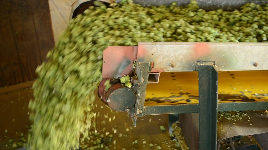 hops : conveyor belt with hops Stock Footage