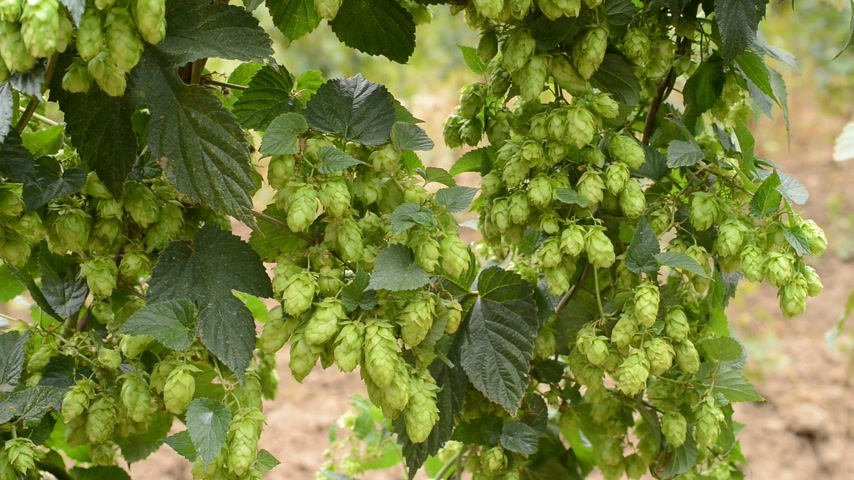 hops : detail of hops field in the breeze, real time