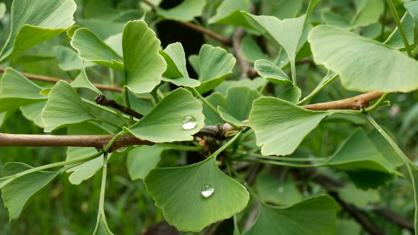 maidenhair : Detail of Ginkgo Leave with Drops of Water. Zoom in.