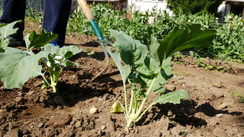 desherbage : Man Hoes Kohlrabi Plant in the Garden. Caméra sans mouvement.