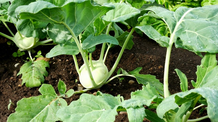 Kohlrabi Plant in the Garden at the Morning. Zoom in.