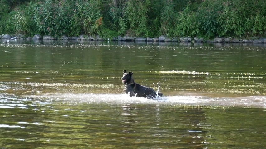 Dog Running in the River in the Summertime. Panning. Stok Video