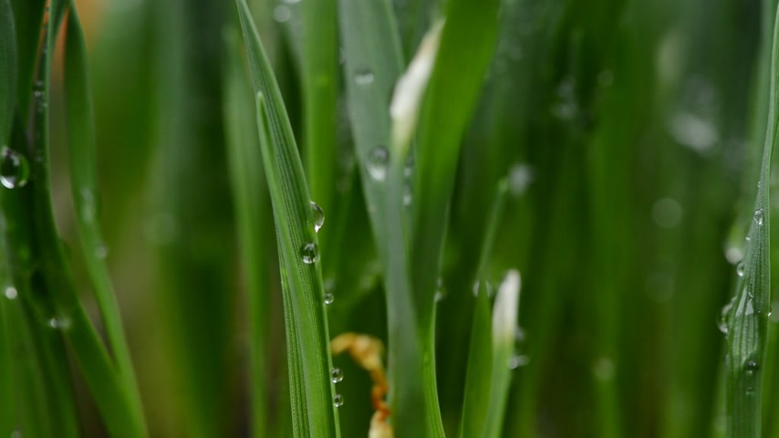 dewy : Detail of drops of water on the grass. Rack Focus. Stock Footage