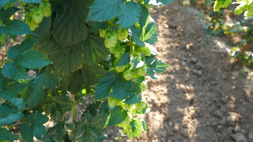 Hop Cones against Sunray. Panning.
