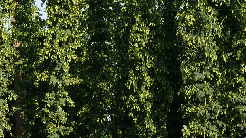 Detail of Hop Field before Harvest.Tilt.