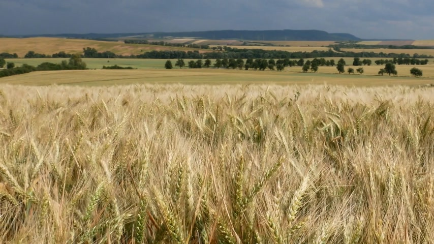slider shot : Wheat Field with Rural Landscape. Panning.
